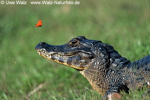 Brillenkaiman und Fackel Schmetterling / Yacare Caiman and Flambeau Butterfly