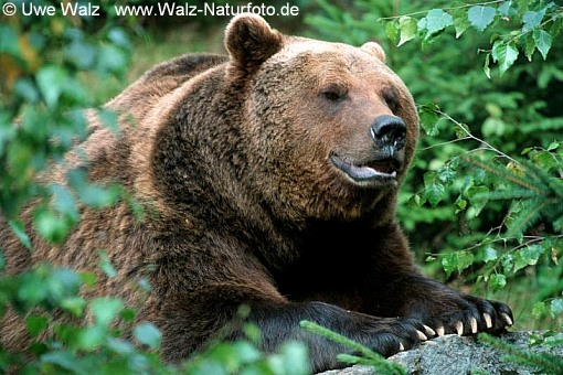Braunbär / Brown Bear