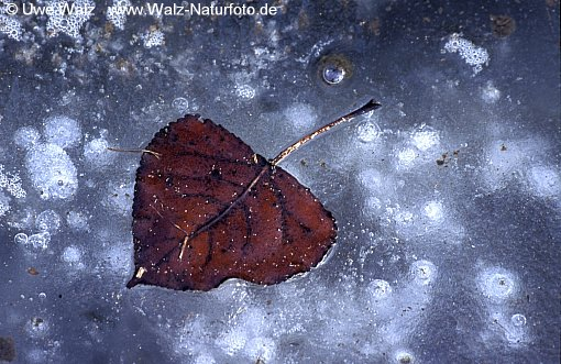 Eingefrorenes Blatt / Leaf in the ice frozen