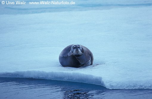 Bartrobbe / Bearded Seal - Square Flipper