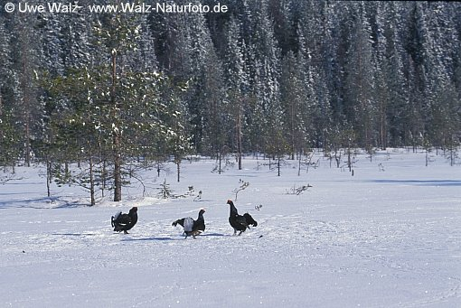 Birkhahn / Black Grouse