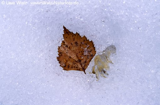 Eingefrorenes Blatt / Leaf in the ice