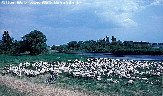 Hausschaf / Domestic Sheep