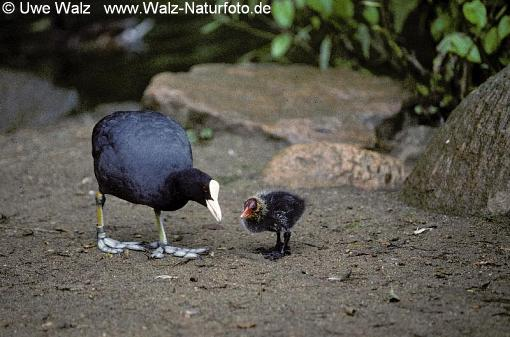 Bläßhuhn mit Küken / Coot with chick