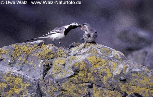 Bachstelze mit Küken / White Wagtail with chick