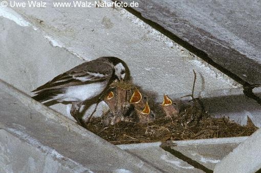 Bachstelze mit Küken / White Wagtail with chicken