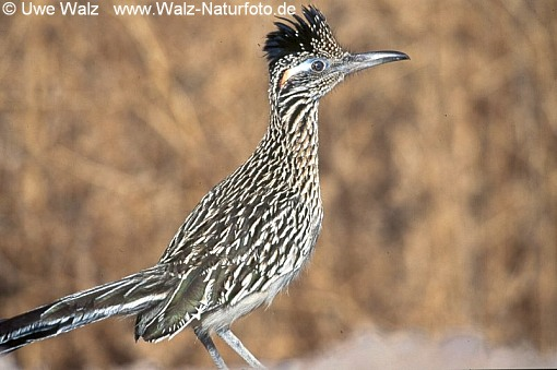 Rennkuckuk / Greater Roadrunner