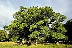 Alte Eiche / Old oak