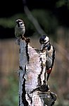 Buntspecht & Haussperling / Great Spotted Woodpecker
