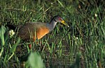 Cayenralle / Gray - Necked Wood - Rail