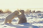 Eisbär - kämpfend / Polar Bear - fighting