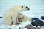 Eisbär - Mutter & Kinder / Polar Bear with cubs