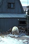 Eisbär am Haus / Polar Bear on the house