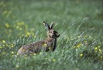 Feldhase / Brown Hare