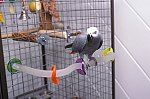 Graupapagei / African Grey Parrot
