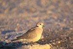 Halmondtaube / Cape Turtle Dove