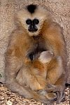 Schopf Gibbon mit Jungen / Black Gibbon with cub