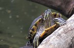 Rotwangen-Schmuckschildkroete / Red-eared Slider