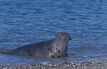Kegelrobbe  / Grey Seal - Horse Head Seal
