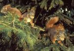 Eichhörnchen / Red squirrel / Sciurus vulgaris