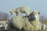 Hausschaf mit Lamm / Sheep with lambs / Ovis orientalis aries