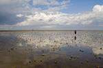 Queller im Wattenmeer / Glasswort in the Waddensea / Salicornia europaea