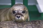 Aussetzen von Seehunden / Common Seal is returned to the wild
