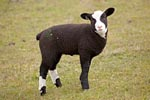 Junges Hausschaf / Young Domestic Sheep
