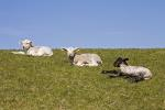 Hausschaf, Lämmer / Domestic Sheep, lambs