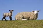 Hausschaf mit Lamm / Domestic Sheep with lamb