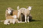 Hausschaf mit Lämmer / Domestic Sheep with lambs