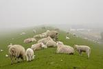Hausschaf im Nebel / Domestic Sheep in the fog