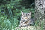Wildkatze / Common Wild Cat