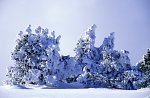 Yellowstone NP, Bäume im Schnee / Yellowstone NP, Trees in the snow