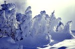 Yellowstone NP, Bäume im Schnee - Schneeskulpturen / Yellowstone NP, Trees in the snow - Snowsculptures