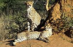 Gepard / Cheetah